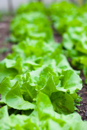 Closeup of a lettuce plant growing in a greenhouse photo