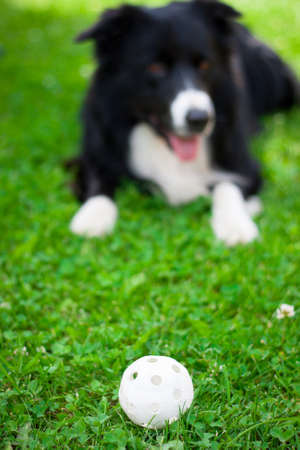 Border collie playing with a plastic ball photo