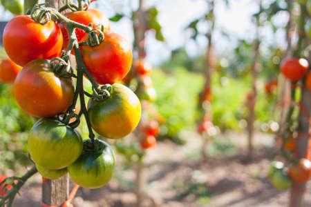 Closeup of tomatoes ripening on a tomato vine  Solanum lycopersicum  Stock Photo