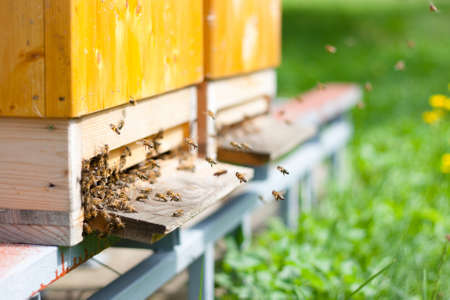 beekeeper: Honey bees swarming and flying around their beehive