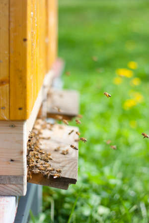 bee garden: Honey bees swarming and flying around their beehive
