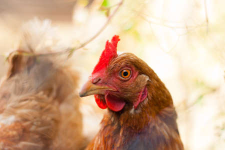 red hen: Closeup of a hen (Gallus gallus domesticus) Stock Photo