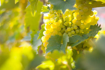 Closeup of grapes growing on a vine photo