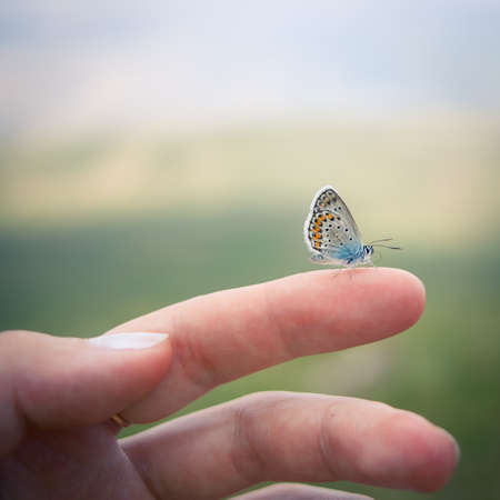 Closeup of the Idas Blue or the Northern Blue butterfly   Plebejus idas   sitting on a finger photo