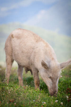 Pigs grazing high in the mountains photo