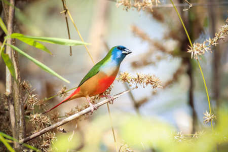 psittacidae: Green munia bieds in the bamboo forest  Stock Photo