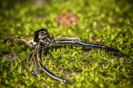 minutiae: Hyllus diardy Biggest jumping spider