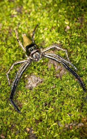 successively: Hyllus diardy Biggest jumping spider
