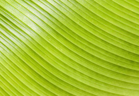 a picture of banana leaf texture can be use for background photo