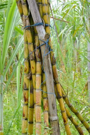 sugar cane farm: Sugarcane plantation in thailand. Agriculture Industry Stock Photo