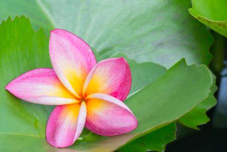lotus leaf: Frangipani flower beautiful placed on lotus leaf Stock Photo