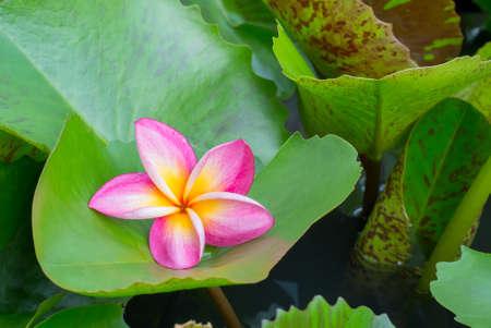 placed: Frangipani flower beautiful placed on lotus leaf Stock Photo