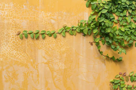 ivy wall: green ivy on old yellow wall. background