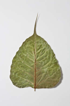 bo dry leaf Stock Photo - 13165237
