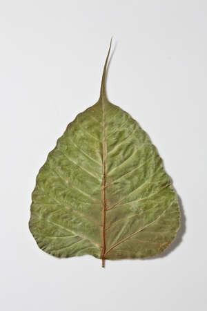 bo dry leaf Stock Photo - 13165237