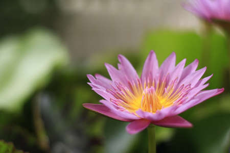 pink lotus, used to worship the Buddha