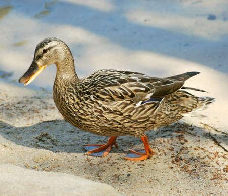 brink: mallard duck  Stock Photo