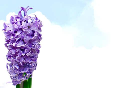 hyacinthus: Fondo - dulce flor de Jacinto violeta en el cielo azul de primavera
