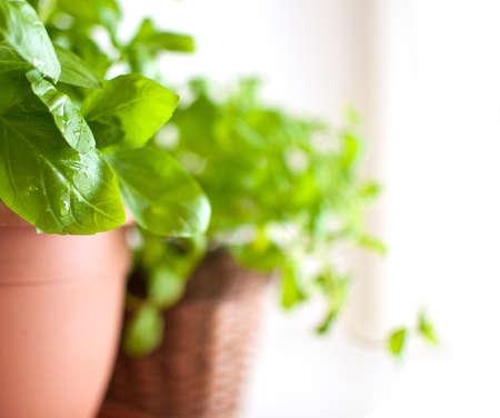 erbe aromatiche: Fresco verde erba di basilico in vaso su sfondo chiaro Archivio Fotografico