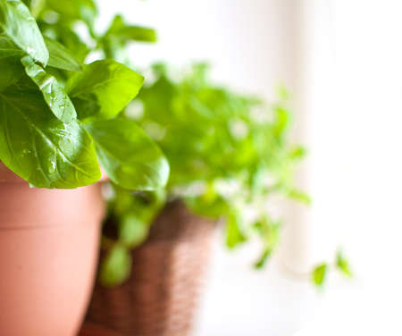 Fresh Green Basil Herb in Pot on Light Background photo