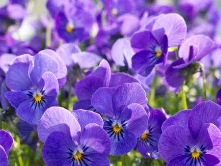 violas: Many Pansy Violet Flower in The Park