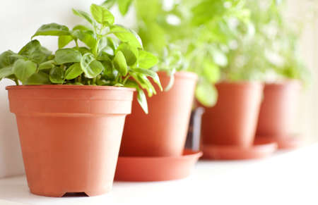 albahaca: Herbs in Pots on the Shelf - Basil, Mint and Rosemary - Shallow Depth of Field