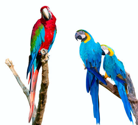 parrot: Ara ararauna en Rood en Groen Ara Geà ¯ soleerd op witte achtergrond Stockfoto