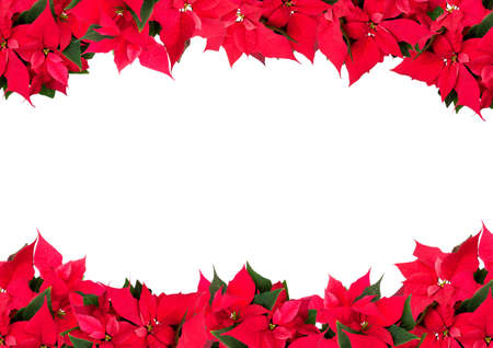 Christmas Frame of Flowers - Poinsettia (Euphorbia pulcherrima) on White Background photo