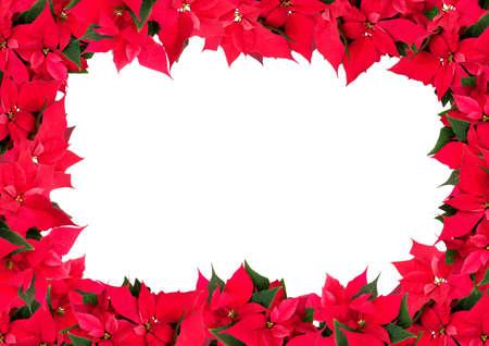 pulcherrima: Christmas Frame dei Fiori - Poinsettia (Euphorbia pulcherrima) su sfondo bianco Archivio Fotografico