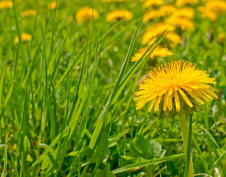 taraxacum: Yellow Dandelions - Taraxacum officinale - on Summer Meadow Stock Photo