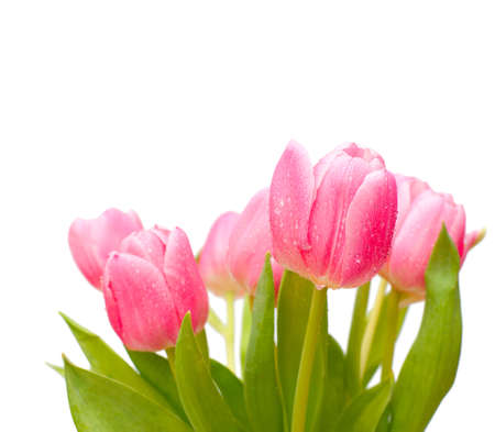 tulip  flower: Bouquet of Pink Tulips on White Background - Shallow Depth of Field