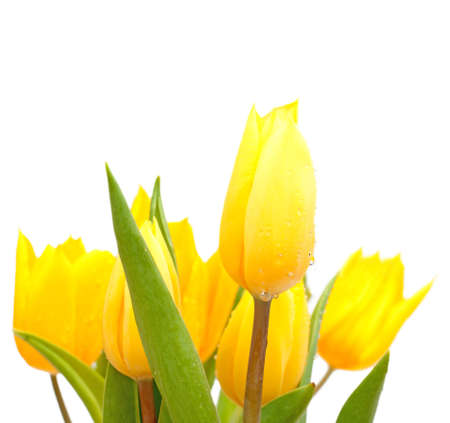 Bouquet of Yellow Tulips on White Background - Shallow Depth of Field photo