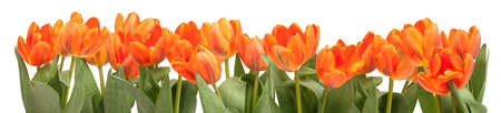 Fresh Orange Tulips Isolated on White Background