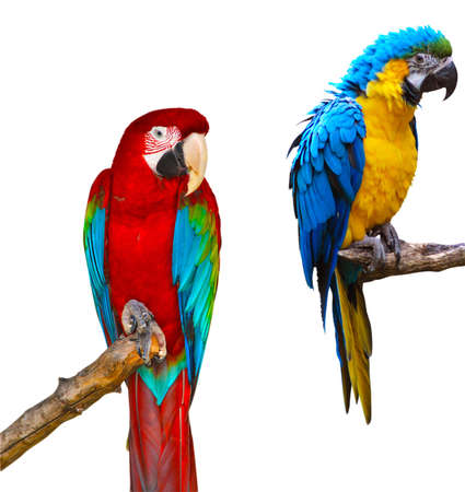 Ara Ararauna and Red and Green Macaw Isolated on White Background Stock Photo