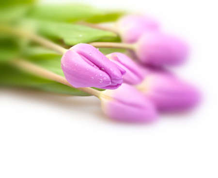 Closeup of Fresh Violet Tulips on White Background - Shallow Depth of Field photo