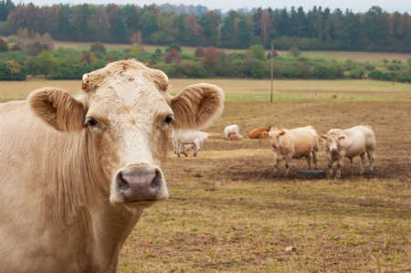 grazing: Herd of cows grazing on the autumn meadow Stock Photo