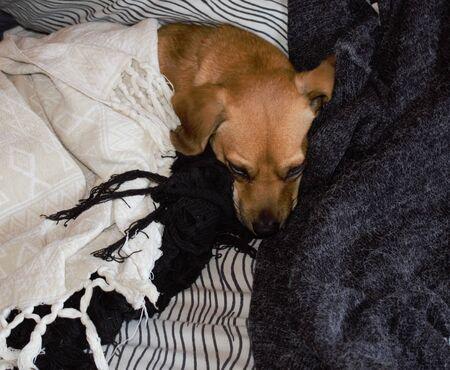 Sleepy dog on bed Foto de archivo