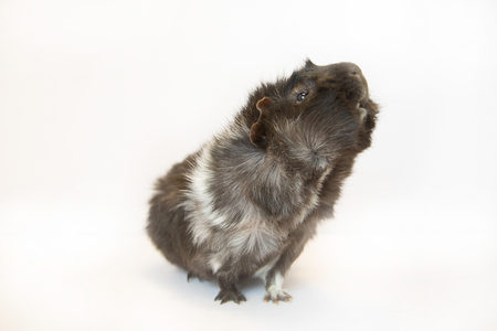 White and black guinea pig on white background.