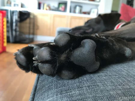 Close up of black labs puppy pads while laying on the couch. Banque d'images