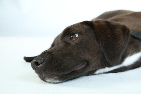 Black puppy isolated on white background.