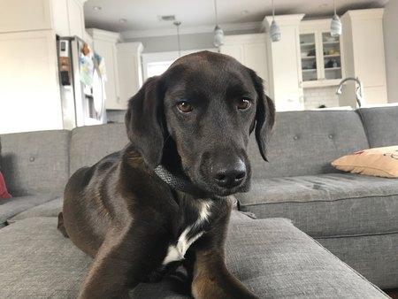Retrato de un cachorro de laboratorio negro mirando a la cámara mientras se relaja en un sofá gris.