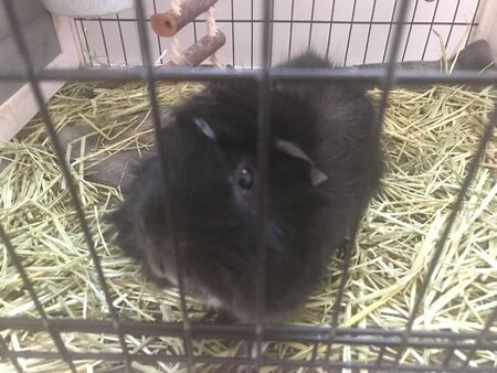 A black guinea pig sits in a cage looking at camera