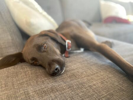 A cute lab puppy relaxes on a couch Imagens - 137945667
