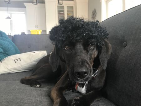 A cute lab puppy relaxes on a couch wearing a funny wig