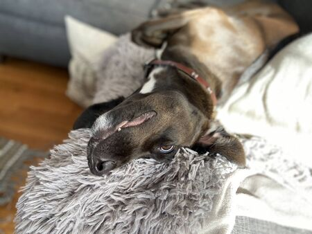 Cute dog laying on the couch on a fluffy gray blanket. Imagens - 144890441