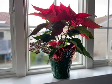 Full bloom poinsettia plant in front of a window.