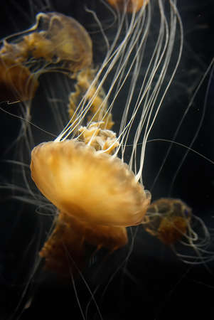 yellow golden jellyfish underwater with multiple tentacles