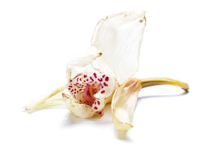 override: Faded orchid bloom isolated Stock Photo