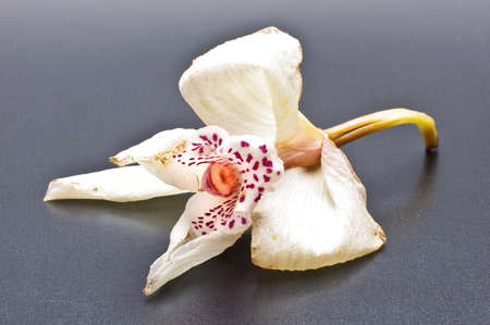 Faded orchid flower bloom