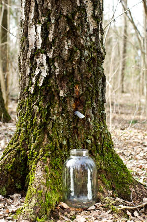 Gathering birch sap in the forest